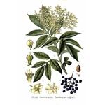 planche botanique sureau noir