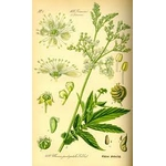 planche botanique reine des pres