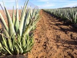 Aloe vera Photo Manolo Benavente VII
