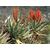 aloe-ferox-plante