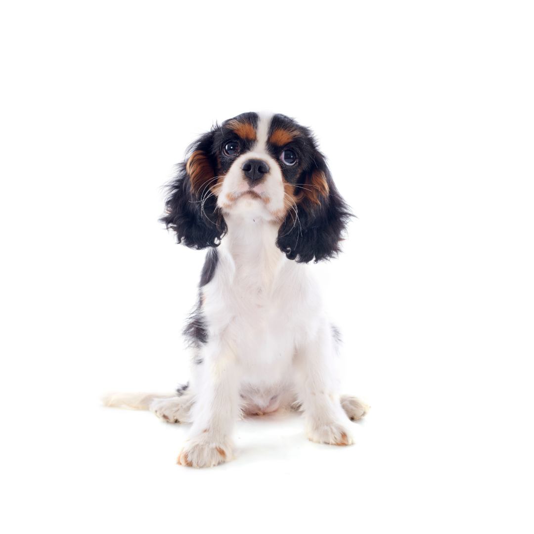 Le shampoing pour chiot, Puppy poil long mi long, 100% sain car 100% naturel