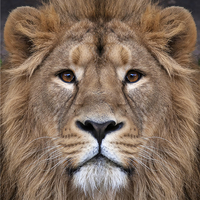 Impression photo sur toile, le Lion