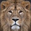 Impression photo sur toile, le Lion