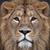 DECO001 LION