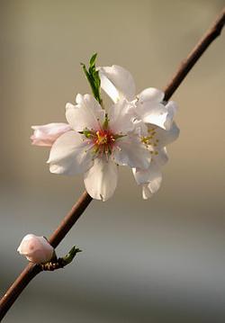 Prunus_dulcis_LC0009