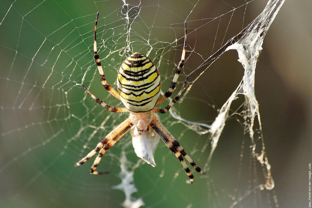 les araign es et leur morsure insecticide spray contre. Black Bedroom Furniture Sets. Home Design Ideas