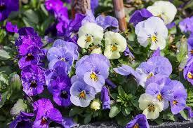 Arome violette 888