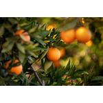 Arome fleur d'oranger