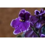 Arome violette 000