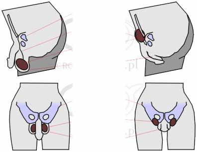 Tucked vulva in greyhounds
