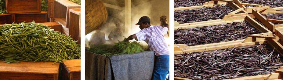 Récolte Vanille Madagascar Blog