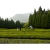 Producteur Thé Vert Japonais Bio Matsumoto Tamaryokucha