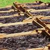 Gousses de Vanille Noire au Séchage Soleil