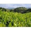 Feuilles Thé Vert Japonais Bio Plantations