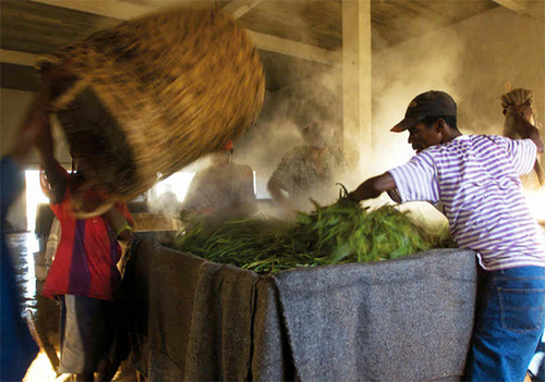 Fabrication Gousse de Vanille Bourbon Madagascar Etuvage