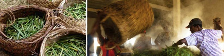 Fabrication de la Vanille de Madagascar Sambava