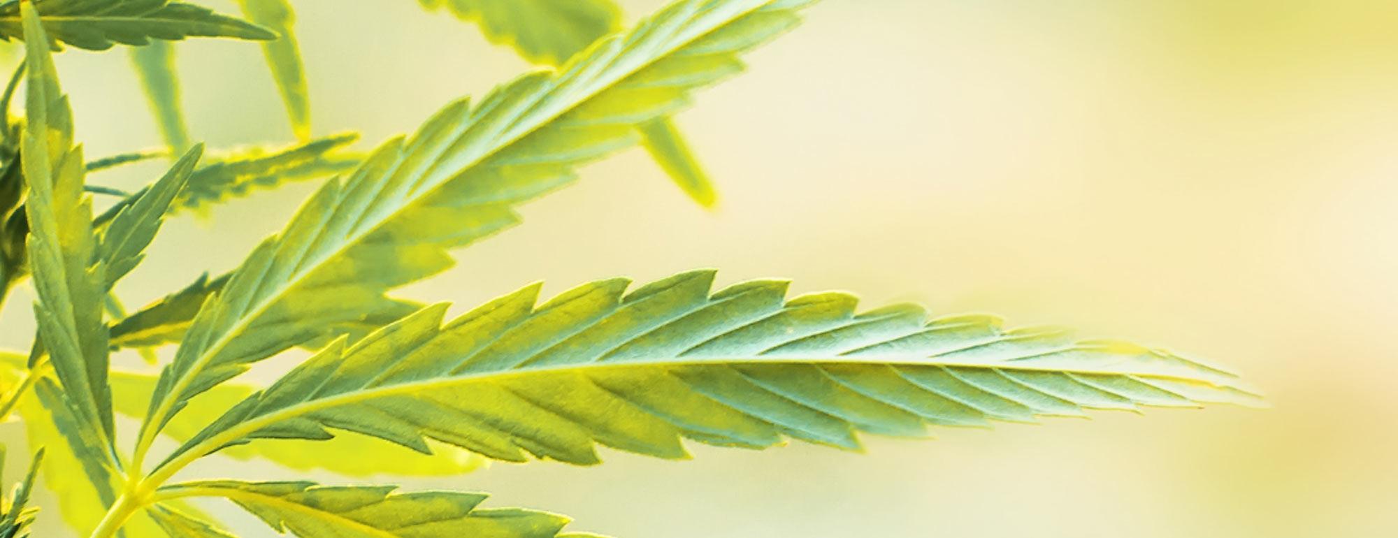 plant cannabis cbd