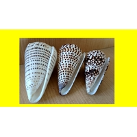 3 CONUS LITTERATUS LEOPARDUS DECORATUS MARMOREUS 115 - 102 - 92 mm .