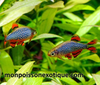 rasbora galaxy xl 1 2 cm poissons eau chaude cyprinides. Black Bedroom Furniture Sets. Home Design Ideas