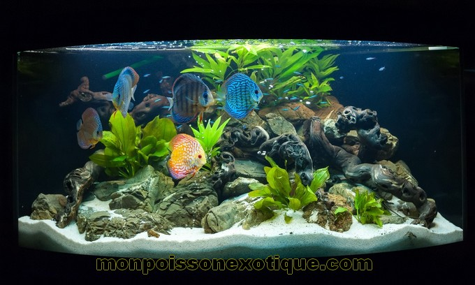 D coration aquarium discus for Avoir un aquarium poisson rouge