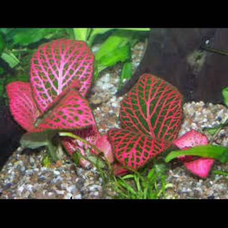 Fittonia rouge plantes d 39 aquarium plantes en pot for Aquarium rouge