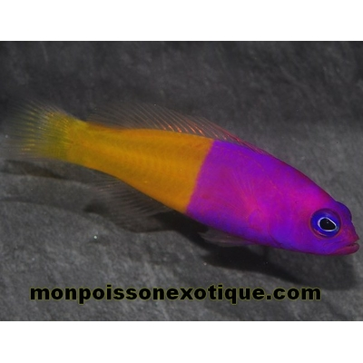 PSEUDOCHROMIS Paccagnellae Vanille Fraise