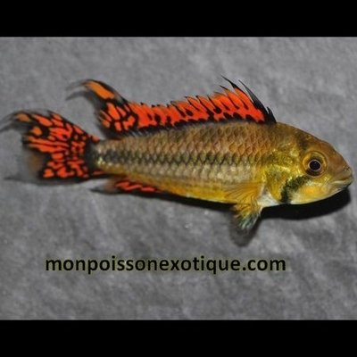 APISTO Cacatuoides Double Rouge 3,5-4 cm