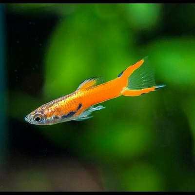 GUPPY Endler Rouge male 1-1,5 cm