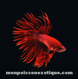 betta rouge crown tail 2