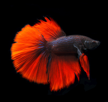 betta rouge halfmoon