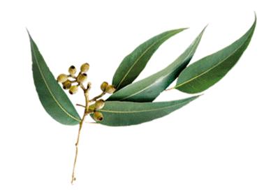 Huile essentielle - Eucalyptus