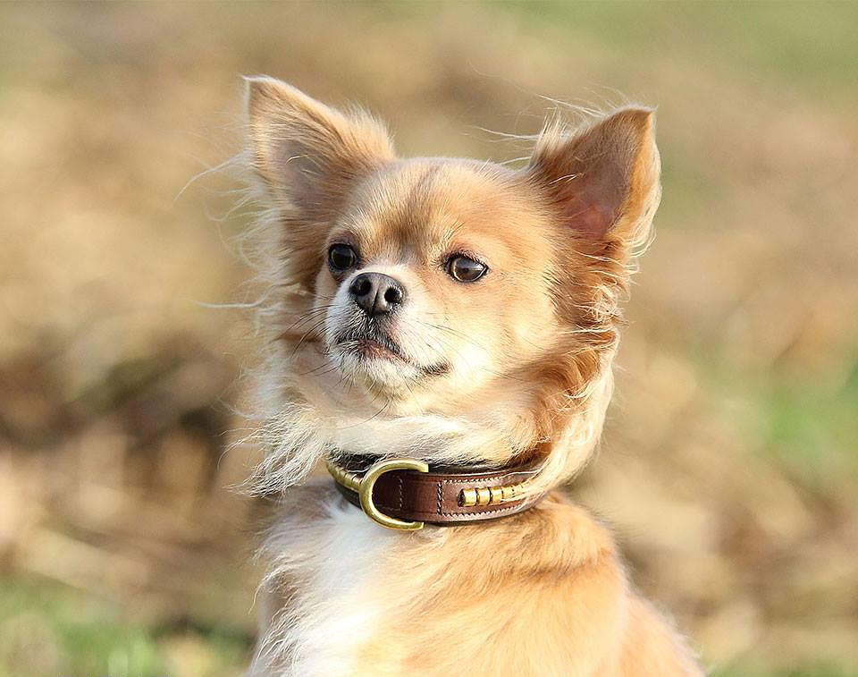 Collier cuir pour chien Clincher