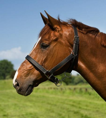 Licol EXCELSIOR cuir chromé cheval de trait