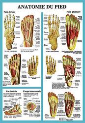 29295-anatomie-du-pied