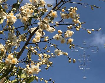 camellia tsaii var tsaii-Gaujacq-6
