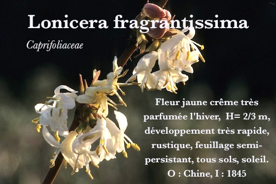lonicera fragrantissima vente en ligne ch vrefeuille cam risier pepiniere botanique. Black Bedroom Furniture Sets. Home Design Ideas