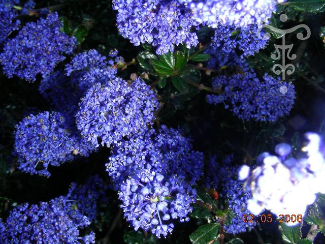ceanothus 39 blue sapphire 39 vente en ligne ceanothe pepiniere botanique thoby gaujacq. Black Bedroom Furniture Sets. Home Design Ideas