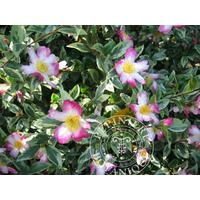 Camellia (botanique) sasanqua  'Variegata'