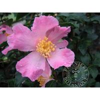 Camellia sasanqua 'Chateau de Gaujacq'