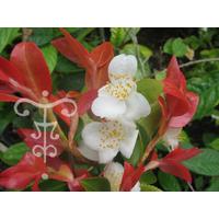 Camellia (botanique) transnokoensis