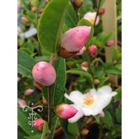 Camellia x transnokoensis 'Transcom' 11612 C-THOBY