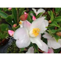 Camellia x transnokoensis 'Transcom'