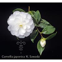 Camellia japonica 'K.Sawada'