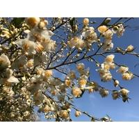 Camellia tsaii var. tsaii (botanique)