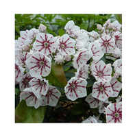 Kalmia latifolia 'Peppermint'