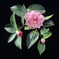 Camellia sasanqua 'Fanny'
