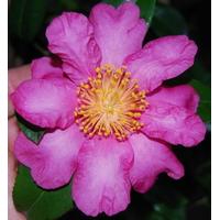 Camellia sasanqua 'Anna Dzofka'
