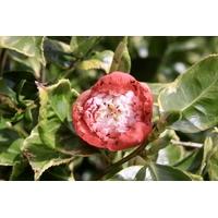 Camellia japonica 'Kumagai de Gaujacq'