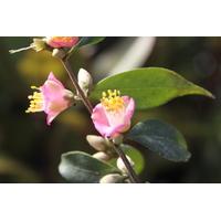 Camellia x cuspidata 'Nam de Gaujacq'