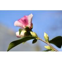 Camellia 'Yume' à Gaujacq